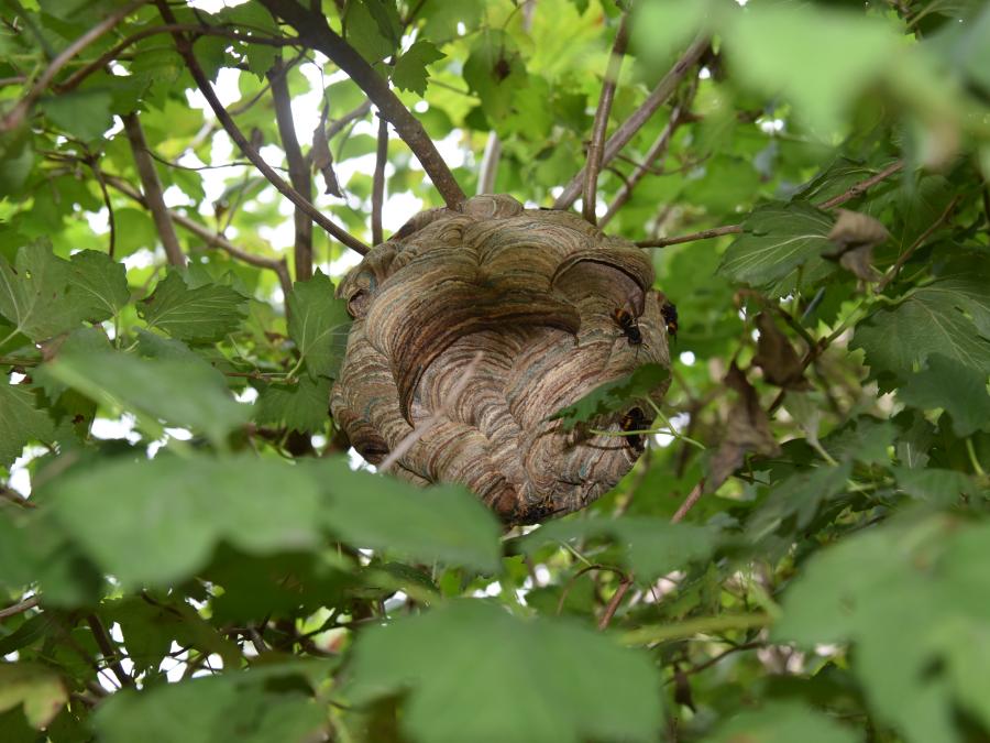 Ga mee de strijd aan tegen de Aziatische hoornaar