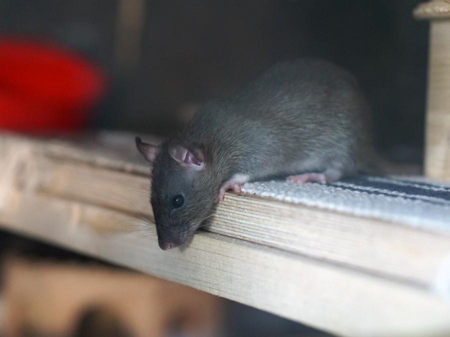 Rattenprobleem? Meld het nu